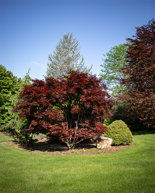 Japanese maple planted in yard
